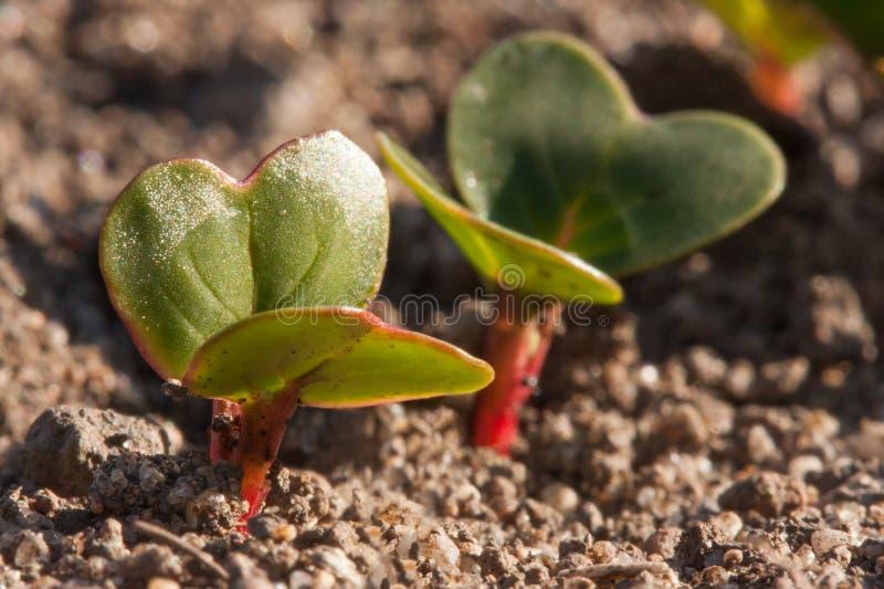 Plântulas novas do rabanete que crescem no jardim na mola adiantada fotografia de stock