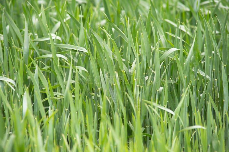 Plântulas novas do trigo que crescem em um campo Trigo verde que cresce no solo Feche acima no centeio emergente agrícola em um c fotografia de stock royalty free
