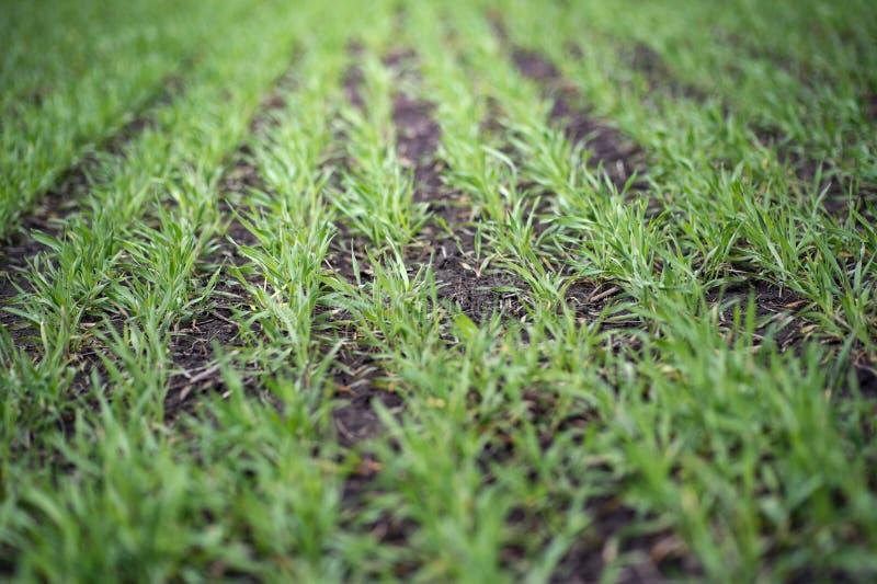 Plântulas novas do trigo que crescem em um solo Tema da agricultura e da agronomia Produto do alimento biológico no campo Fundo n imagens de stock