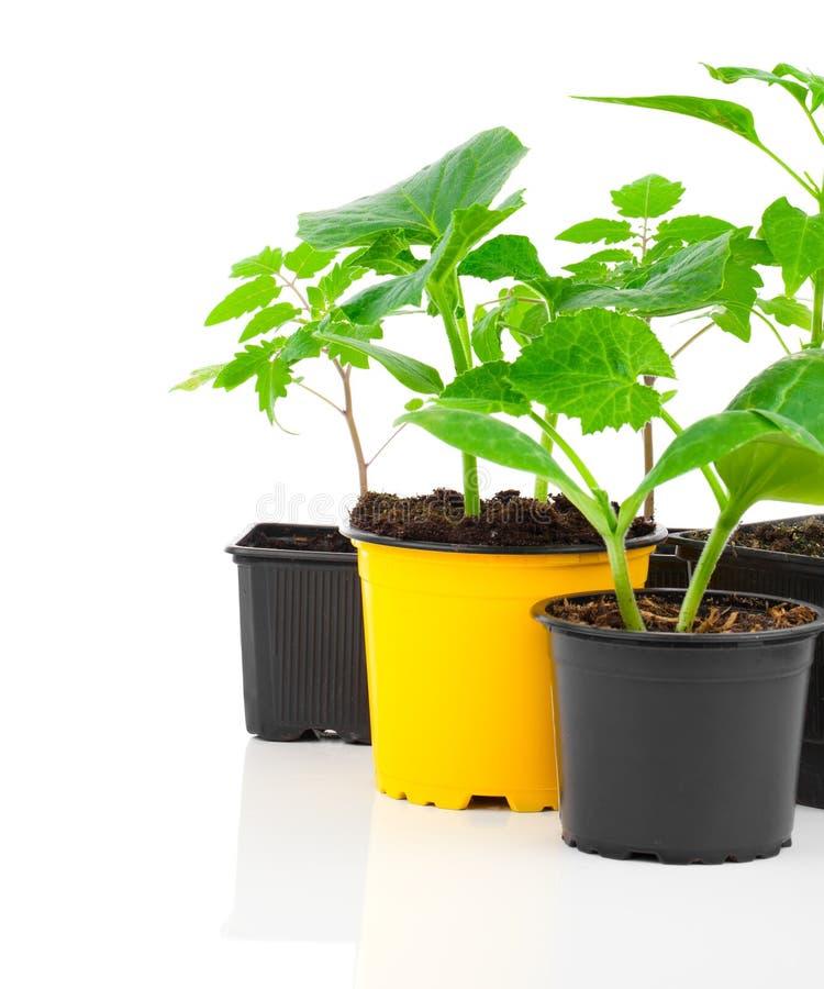 Plântulas novas dos vegetais imagens de stock
