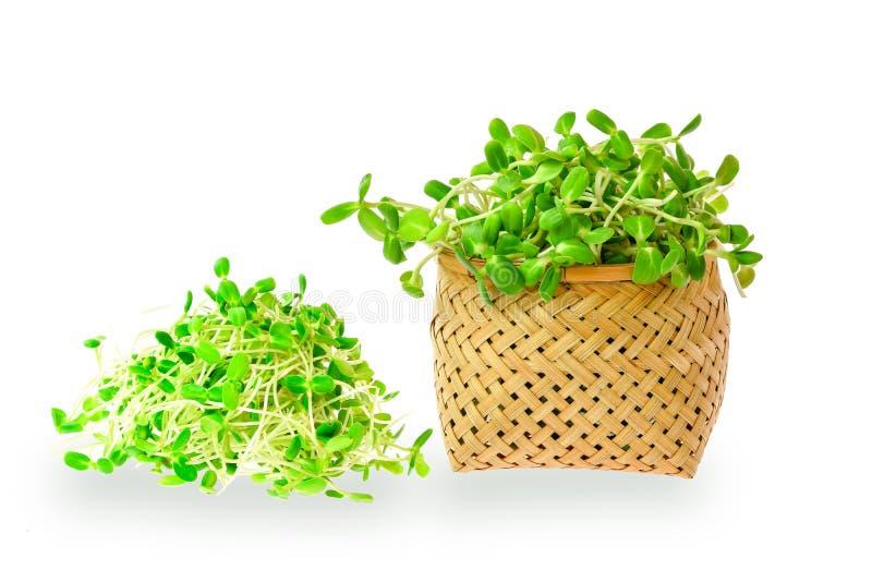 Plântulas novas verdes do girassol na cesta de bambu para o alimento biológico foto de stock