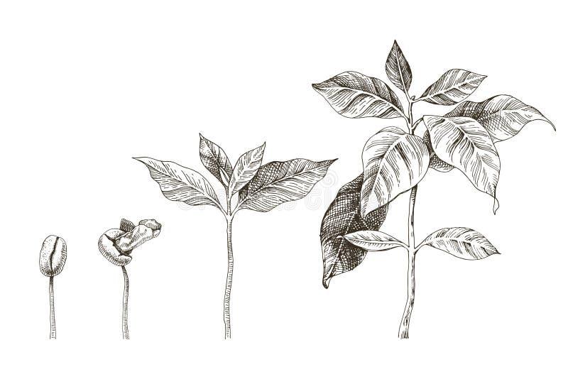 Plântulas tiradas mão do café 4 fases da planta crescente ilustração stock