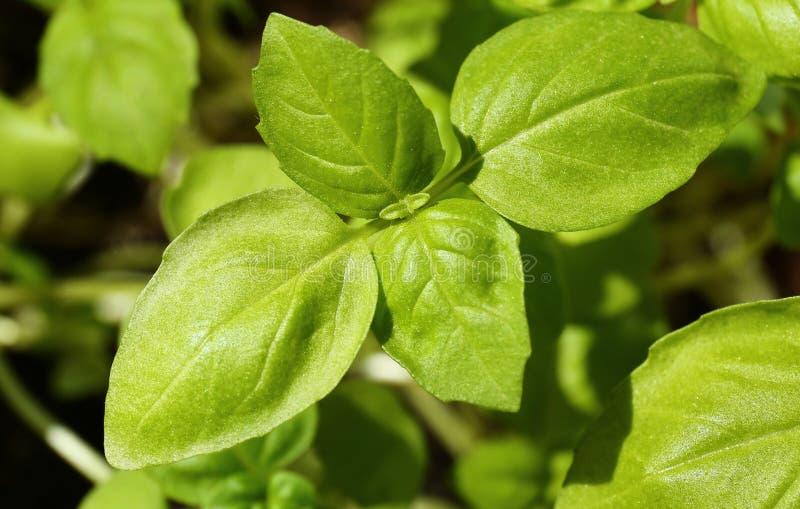 Plântulas verdes da manjericão, close-up foto de stock