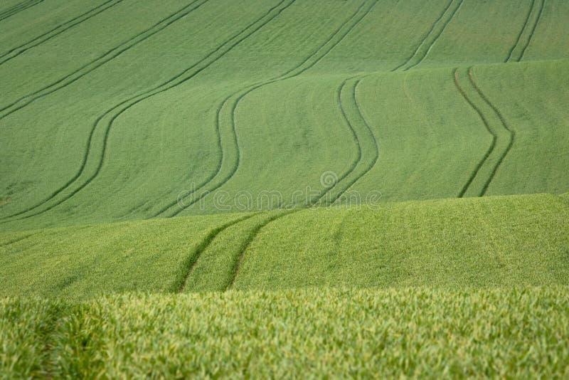 Plântulas verdes novas do trigo em um campo ondulado e montanhoso Fundo da agricultura imagens de stock royalty free