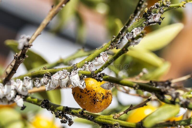 Plågamealybugcloseup på citrusträdet royaltyfri bild