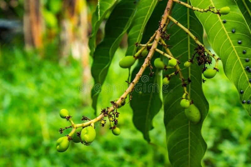 Plågor äter mangosidor fotografering för bildbyråer