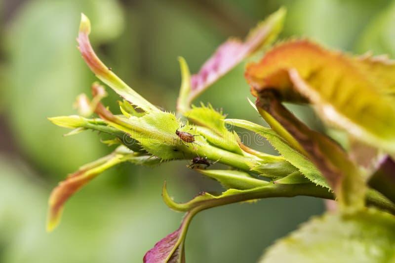 Plågor växtsjukdomar Bladlusnärbild på rosknoppen royaltyfri bild
