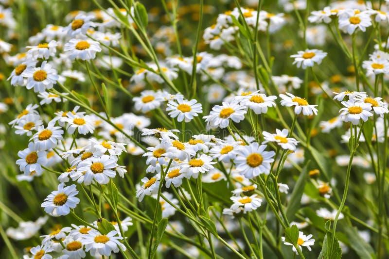 Plénitude de fleur, fleurs de l'herbe de baume Balsamita principal photo stock