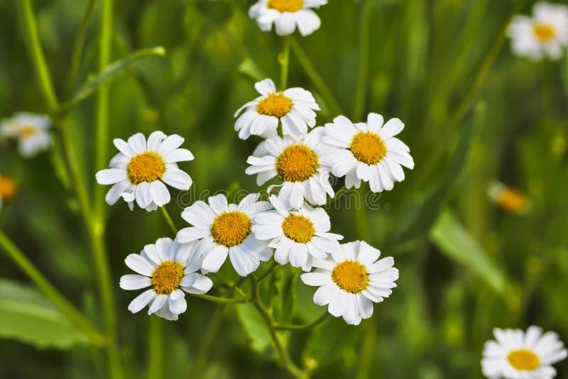 Plénitude de fleur, fleurs de l'herbe de baume Balsamita principal photos stock