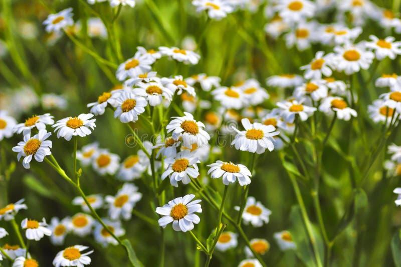 Plénitude de fleur, fleurs de l'herbe de baume Balsamita principal photo libre de droits