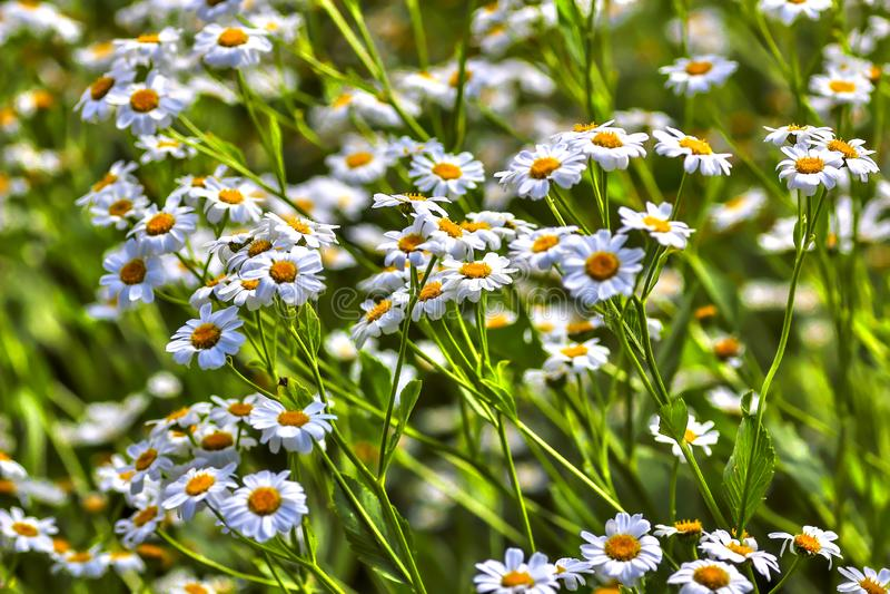Plénitude de fleur, fleurs de l'herbe de baume Balsamita principal image stock