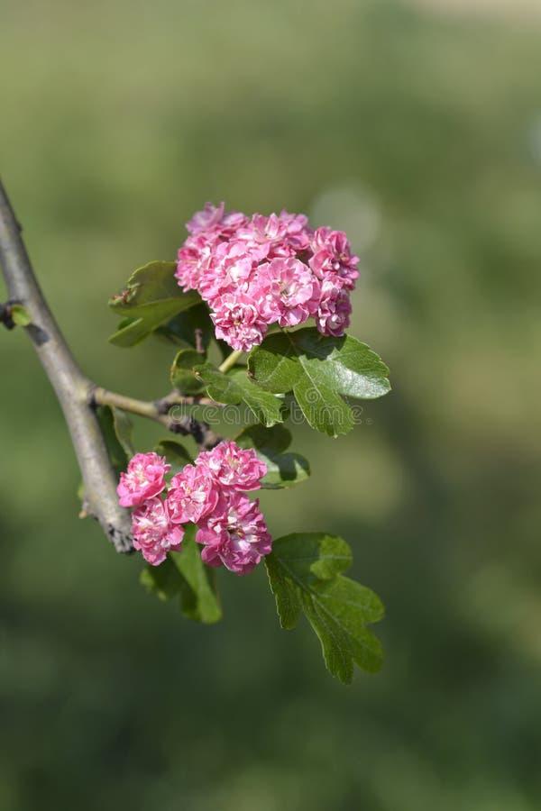 Pléno Pléno de Flore de Rosea photos libres de droits