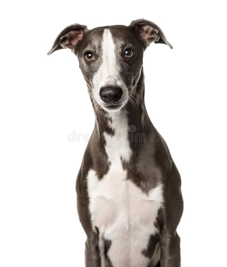 Plötsligt hundsammanträde, arkivfoto
