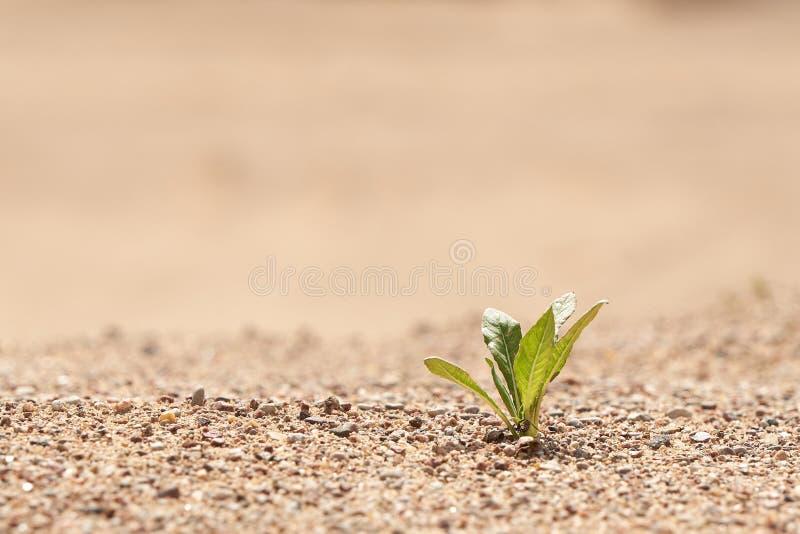 Pl?ntula nova que cresce em uma areia do deserto O conceito da sobreviv?ncia Foto com espa?o da c?pia fotos de stock royalty free