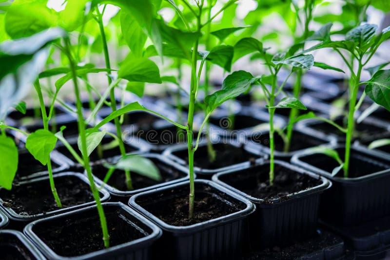 Pl?ntulas do vegetal da planta da pimenta fotografia de stock