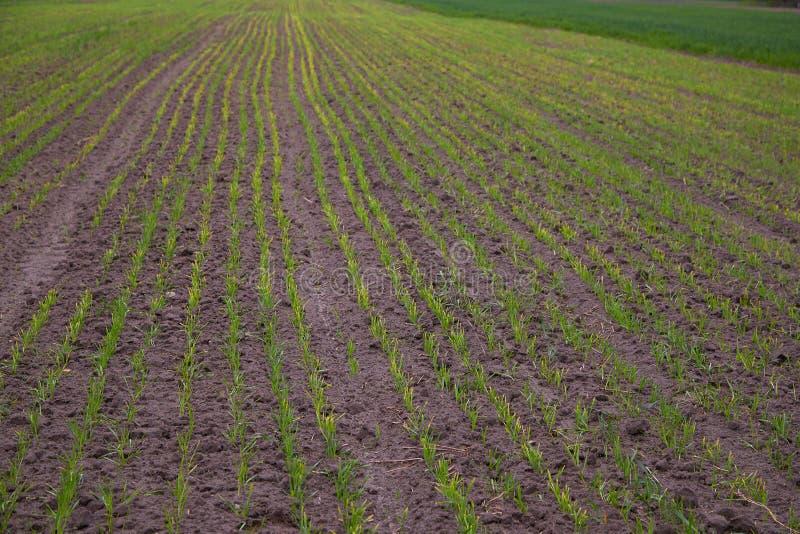 Pl?ntulas novas do trigo que crescem em um campo imagens de stock
