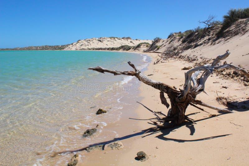Plaża z Nieżywymi drzewa i piaska diunami obraz stock