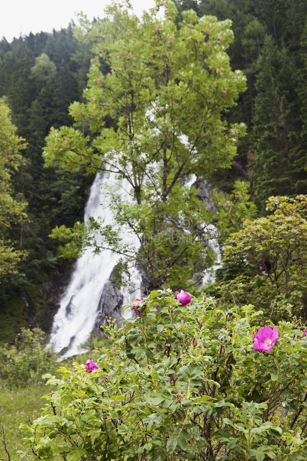 Plażowe róże blisko Schleierfall, Tyrol, Austria obrazy royalty free