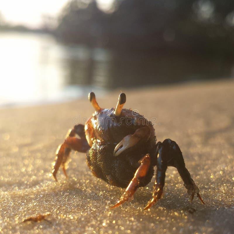 plażowego czarny kraba denny brzeg obrazy royalty free