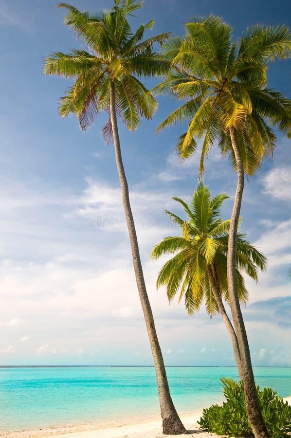 plażowi drzewka palmowe obrazy royalty free
