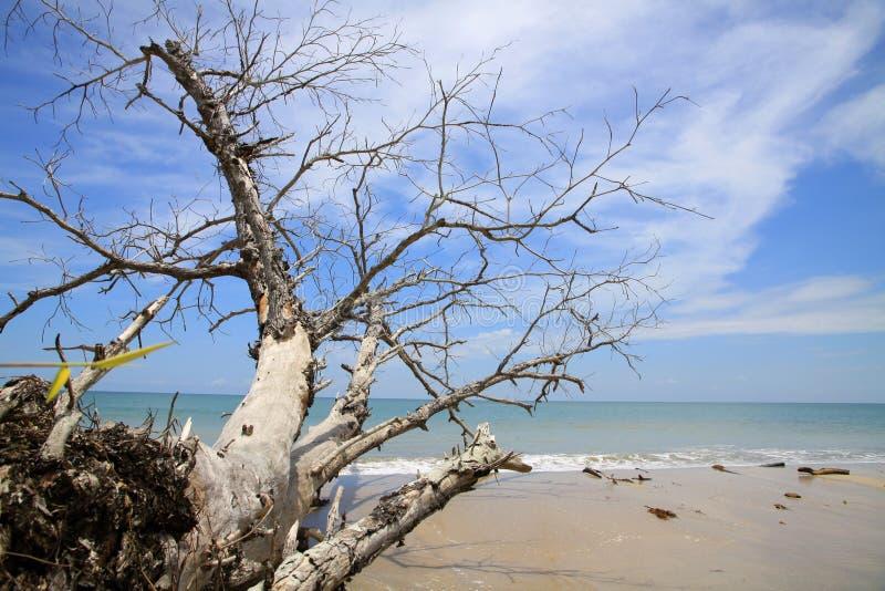 plażowy śmiertelny drzewo fotografia royalty free