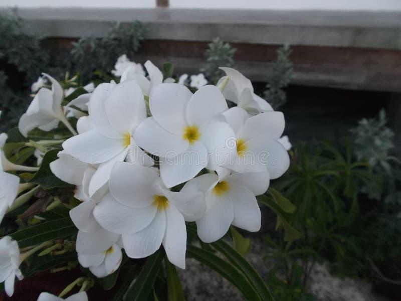 Plażowy krzaka Myoporum laetum Myoporum laetum Ja jest krzaka drzewem w rodzinnym Scrophulariaceae zdjęcie royalty free