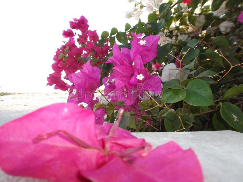 Plażowy krzaka Myoporum laetum Myoporum laetum Ja jest krzaka drzewem w rodzinnym Scrophulariaceae fotografia stock
