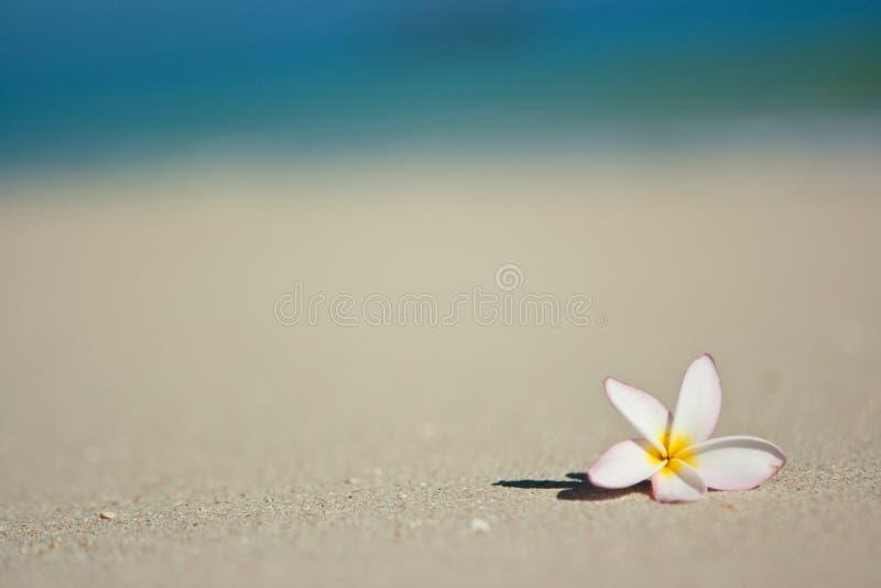 plażowy kwiat zdjęcia royalty free