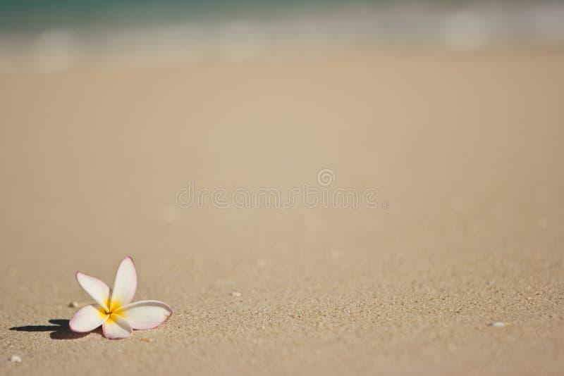 plażowy kwiat zdjęcie royalty free