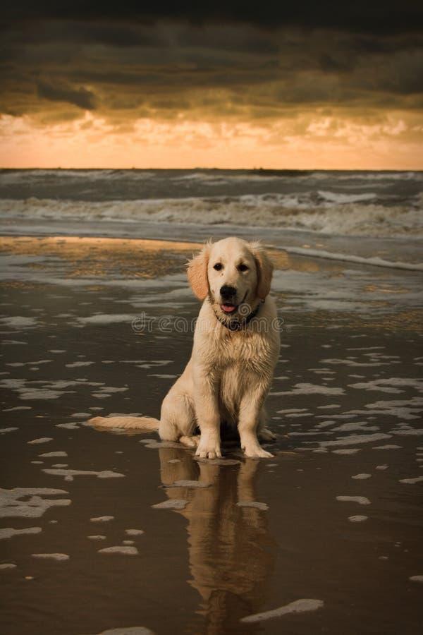 plażowy złoty portreta szczeniaka aporter obrazy stock