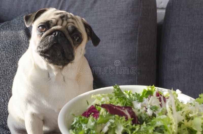 Plaat met verse groene salade, pug van het hondras zitting op de bank stock foto's