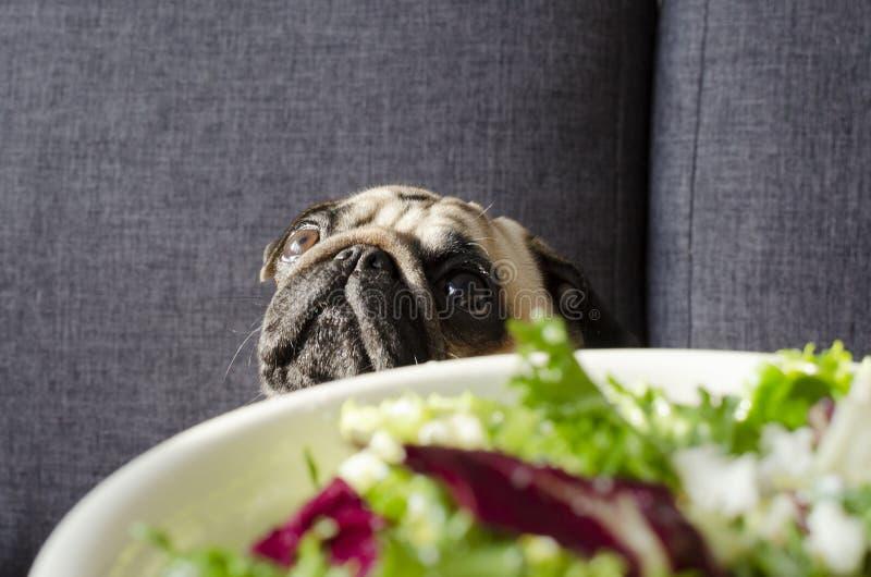 Placa com salada verde fresca, pug da raça do cão que senta-se no sofá imagens de stock royalty free