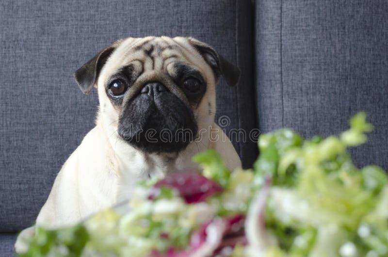 Placa com salada verde fresca, pug da raça do cão que senta-se no sofá fotos de stock