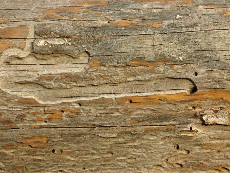 Placa de madeira velha comida por sem-fins e por besouros foto de stock royalty free
