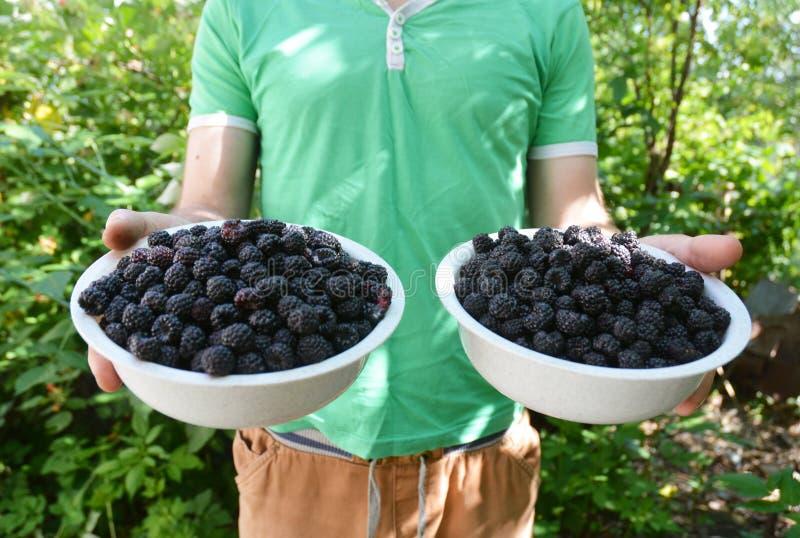 Placas de zarzamoras maduras en manos del jardinero Alimento sano foto de archivo