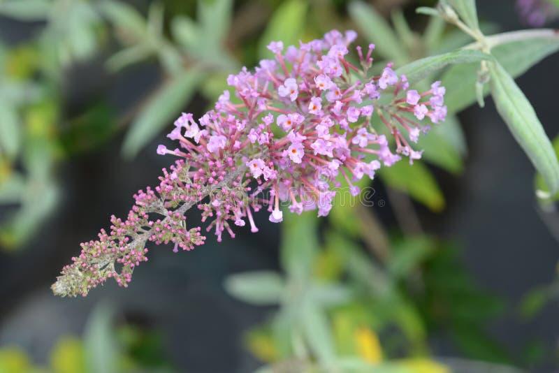 Placer del rosa de la lila del verano imagen de archivo