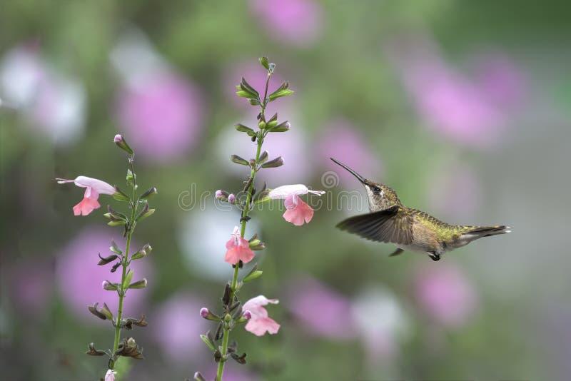 Placer y Coral Sage del jardín foto de archivo