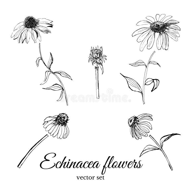 Placez avec le croquis graphique tiré par la main de l'echinacea de fleurs d'été avec les feuilles et le bourgeon illustration stock