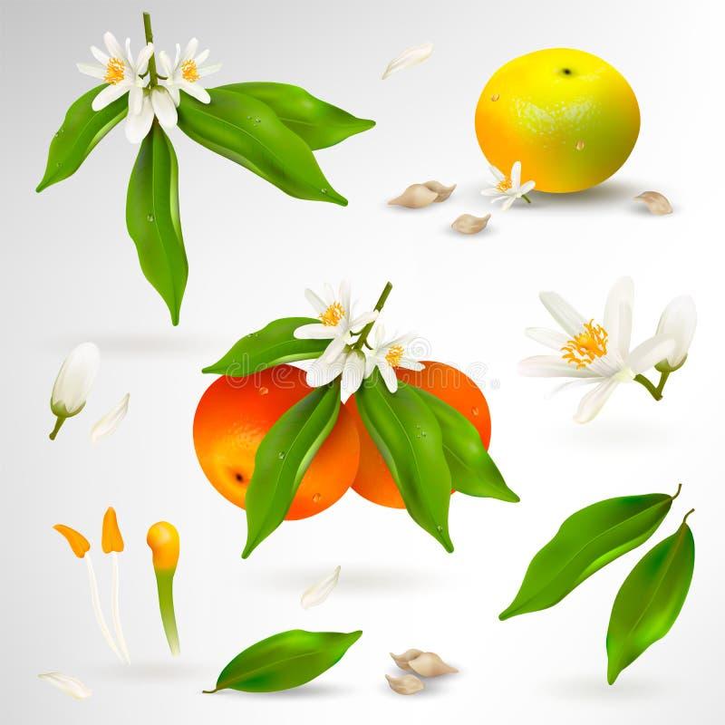 Placez des éléments de la structure de l'usine d'agrume de mandarine ou de mandarine Fleur, pétales, fruit, feuilles, branche, st illustration libre de droits