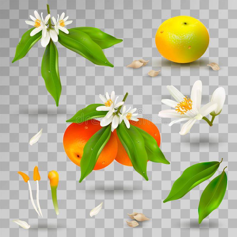 Placez des éléments de la structure de l'usine d'agrume de mandarine ou de mandarine Fleur, pétales, fruit, feuilles, brindille,  illustration stock
