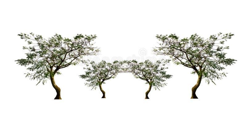 Placez des arbres, arbre de flamme, d'isolement sur le fond blanc image libre de droits