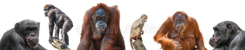 Placez des différents singes comme macaque, orang-outan, gorille et chimpanzé de rhésus d'isolement au fond blanc photo libre de droits
