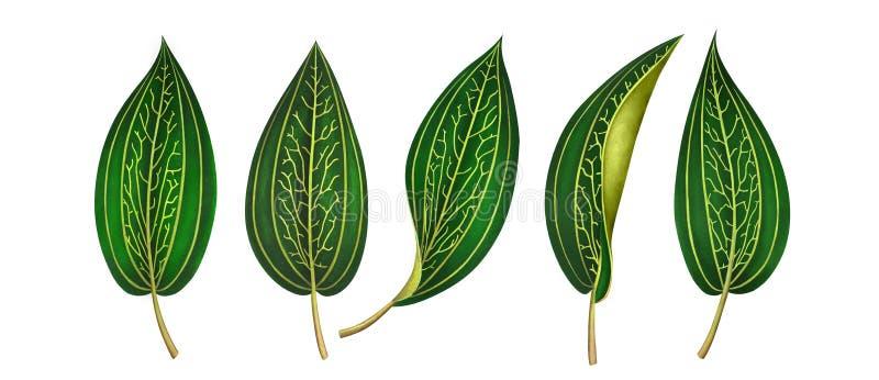 Placez des feuilles tropicales exotiques d'isolement sur le fond blanc illustration libre de droits