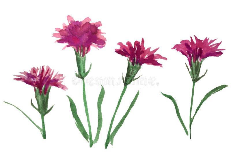 Placez des fleurs d'aquarelle de l'oeillet de champ sur un fond blanc illustration de vecteur