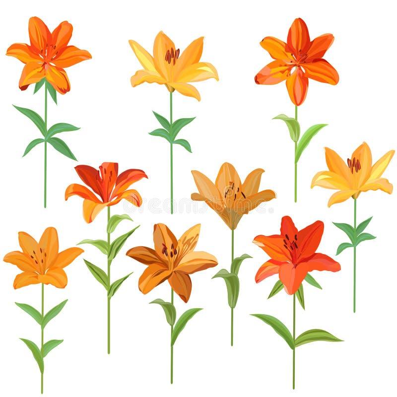 Placez des images des lis oranges et jaunes réalistes d'isolement sur le fond blanc illustration libre de droits