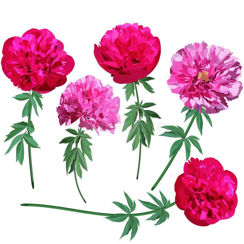 Placez des images des pivoines roses et rouges sur des tiges d'isolement sur le fond blanc illustration libre de droits