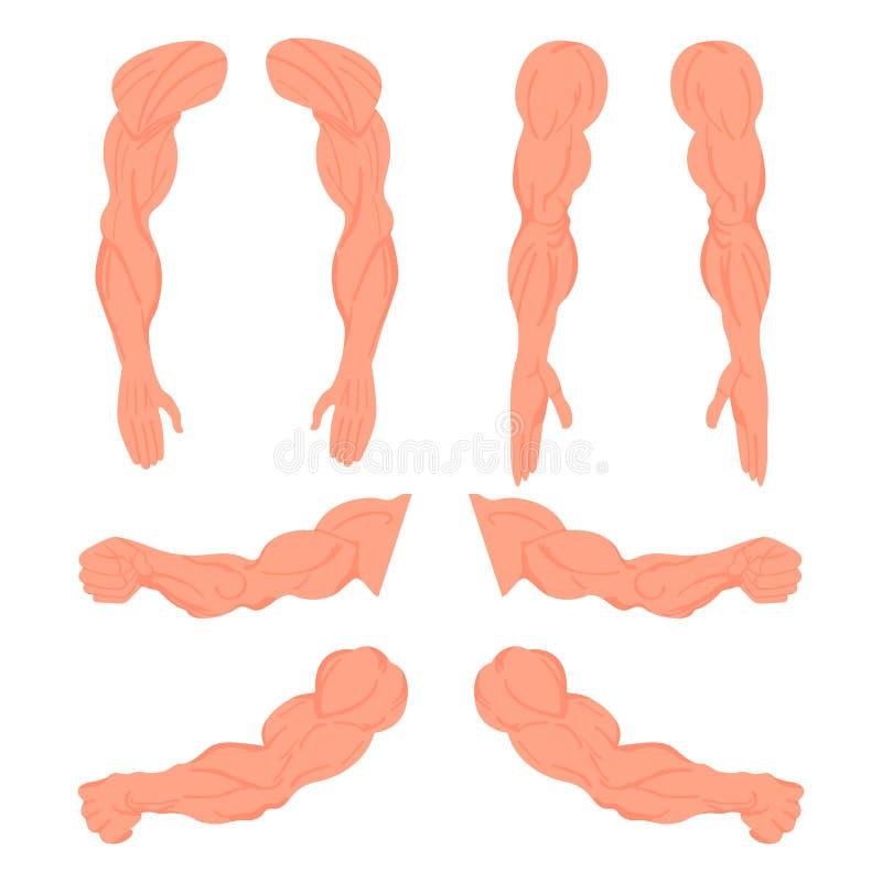 Placez des mains d'un bodybuilder Anatomie musculaire masculine Illustration de vecteur illustration de vecteur