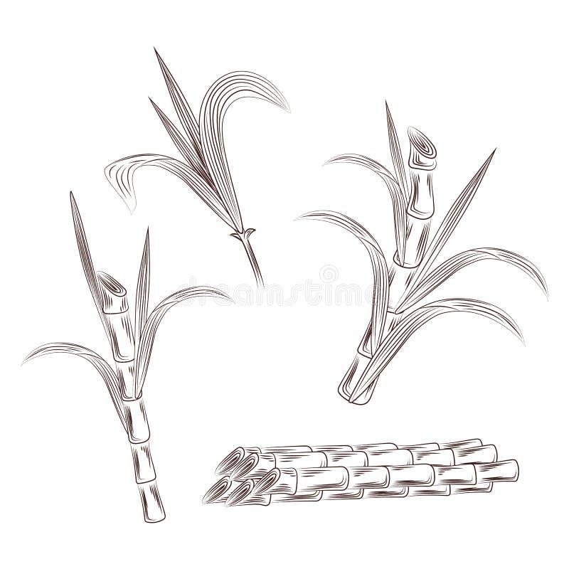 Placez des tiges d'usine de canne de sucre brut La canne d'aspiration de main part du fond illustration de vecteur