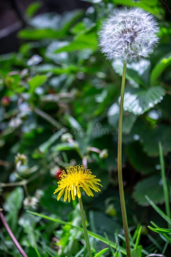 Placez du pissenlit et de la fleur dans le jardin photographie stock libre de droits