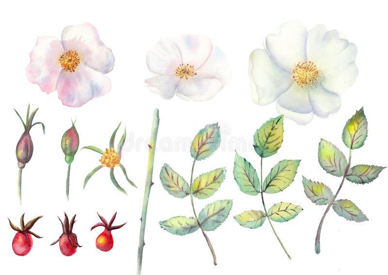 Placez : fleurs de hanche rose, feuilles, fruits d'isolement sur le fond blanc Illustrations botaniques d'aquarelle pour la conce illustration libre de droits